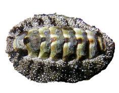 Acanthopleura3